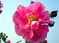 木槿花艳丽色彩图片赏析