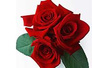 好看唯美的红玫瑰图片