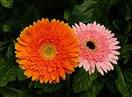 非洲菊鲜艳花瓣图片大全