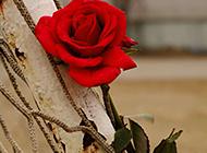 性感浪漫的红玫瑰花图片