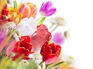 绚丽多彩的郁金香背景图片