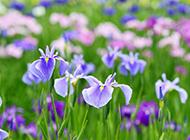 各种颜色的鸢尾花图片美极了