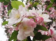 北美海棠花图片粉嫩清新