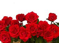 一篮唯美血色红玫瑰图片