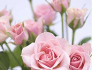 綻放的粉玫瑰圖片素材