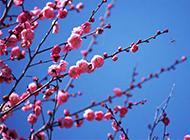 盛开的桃花高清图片赏析