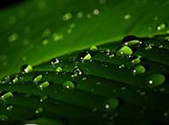 绿色植物上的水珠摄影图片