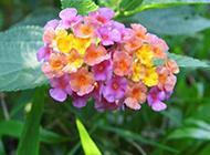 艷麗唯美的繡球花圖片