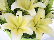 百合花优雅白色鲜花背景图片素材