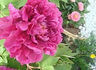 花大色艳的牡丹花图片