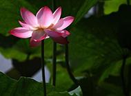夏日池塘中的粉红莲花图片
