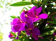 精美的野生紫花杜鹃植物图片