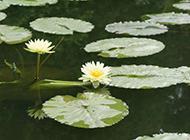 池中美丽的睡莲图片