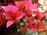 三角梅鲜艳花瓣特写图片