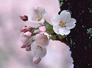 娇艳的桃花摄影图片