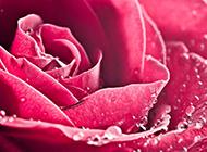 带水滴的红玫瑰花高清背景图片