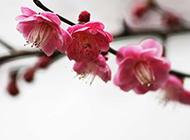 与世无争的梅花摄影图片