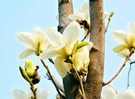 幽香远溢的玉兰花图片