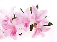 粉色高雅百合花图片