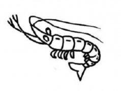 对虾简笔画图片