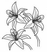 三朵百合花简笔画图片