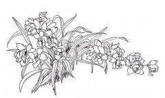 植物简笔画:兰花