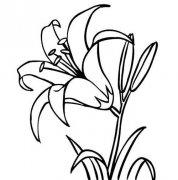 少儿关于盛开的百合花简笔画图片