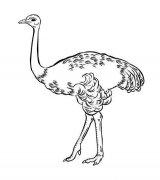 儿童动物简笔画图片:鸵鸟