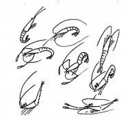 幼儿关于一群虾的简笔画图片
