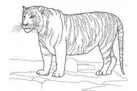 白孟加拉虎