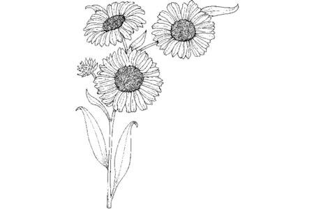 三朵向日葵