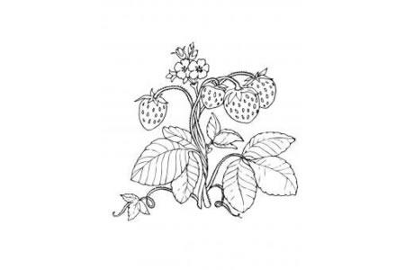 藤上的草莓简笔画图片