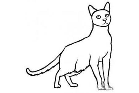 猫咪图片 哈瓦那褐色猫简笔画