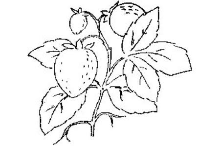 树枝上的三颗草莓