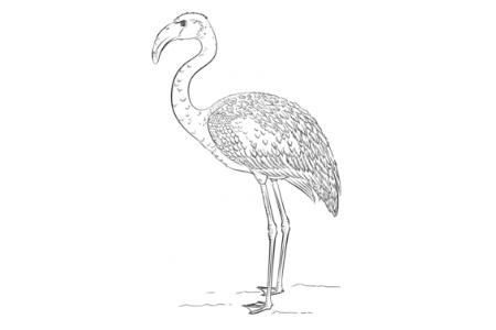 如何画火烈鸟