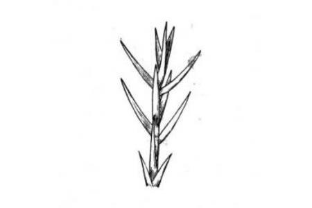 雪松树的枝叶