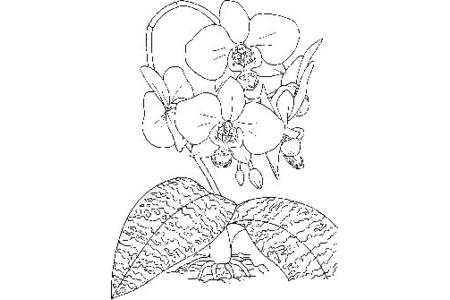 各种兰花简笔画