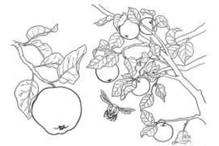 树上的苹果简笔画图片