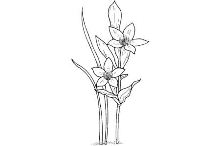 简单的水仙花画法