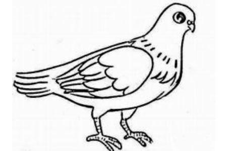 和平鸽简笔画图片精选