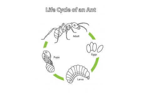一只蚂蚁的生命周期
