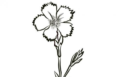 康乃馨的简单画法