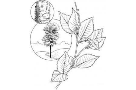 黄桦树的树叶