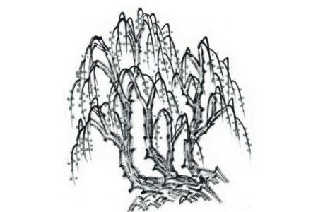 柳树植物简笔画优秀图片