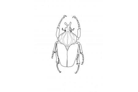 歌利亚甲虫