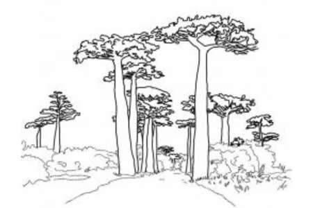 猴面包树的林荫大道