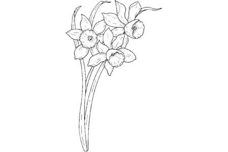 春天的水仙花