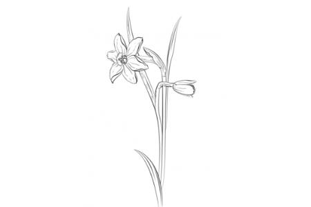 如何画水仙花