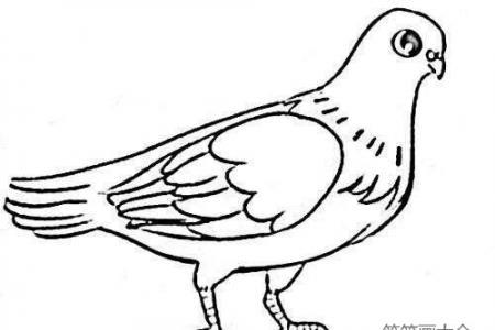 家养鸽子简笔画教程