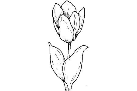 简单的郁金香画法